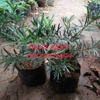 bibit tanaman lohansung / tanaman lohansung