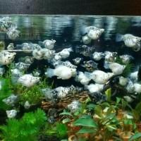 Ikan Hias Marbel Molly Size M