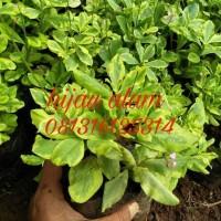 tanaman hias ginseng / tanaman gingseng