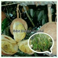 Bibit Durian Gundul super