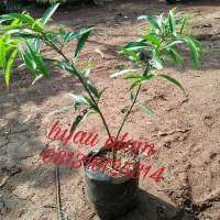 tanaman obat pohon mahkota dewa / mahkota dewa
