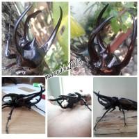 jual kumbang tanduk caucasus