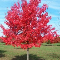 Benih Biji Bibit Red Maple (Acer rubrum)