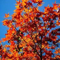Benih Biji Bibit Oliver's Maple (Acer oliverianum)
