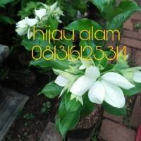 tanaman nusa indah