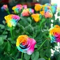 Jual Biji Bibit Benih Bunga Rose Rainbow / Ac / Pureit Kipas / Hand blender Murah