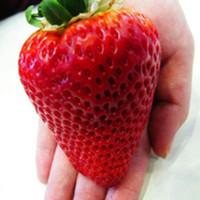 Jual Benih Super Big Strawberry (Import) Murah