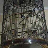 burung kacer jawa barat gacor plus kandangnya