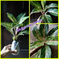 tanaman hias aglaonema butterfly/aglonema butterfly/pohon aglaonema