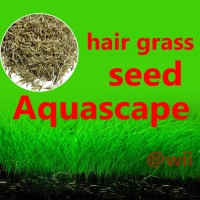 bibit benih tanaman air mini Hair Grass seed aquascape aquarium