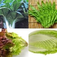 Paket Murah 10 Jenis Benih / Bibit / Biji Sayuran Hidroponik