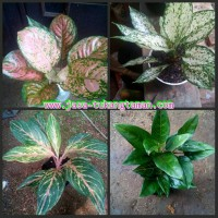 paket tanaman hias aglaonema butterfly, ruby, snow white, rotundum