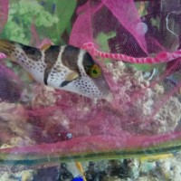Ikan Buntal Valentin Strip