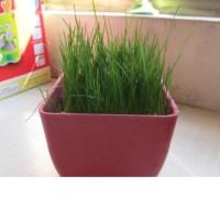 Jual Promo* benih rumput horta, biji rumput horta 100gram * Murah