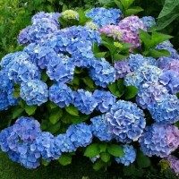 bibit bunga hortensia-bunga bokor