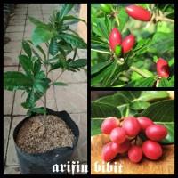 bibit miracle fruit buah ajaib