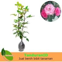 Tanaman Mawar Floribunda Pink