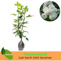Tanaman Mawar Floribunda Putih