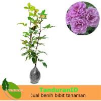 Tanaman Mawar Floribunda Ungu