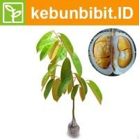 Kebun Bibit Tanaman Buah Durian Duri Hitam 60cm