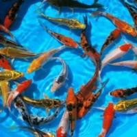 Bibit Ikan koi 16-20 cm.Mix Tancho, Showa, Sanke, Kohaku. Murah Meriah