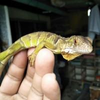 Super Red iguana (garansi hidup sampe tujuan)