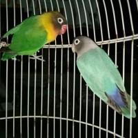 Burung Lovebird Indukan Produk Dakocan Vs Cobalt dan Dakocan Vs Pasjo