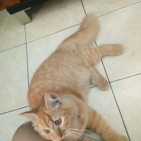 kitten persia medium black n red tabby