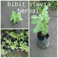 Jual Bibit tanaman stevia herbal daun manis pengganti gula Murah