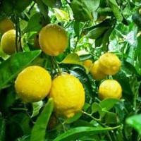 Jual Bibit Buah Jeruk Lemon Tea Murah