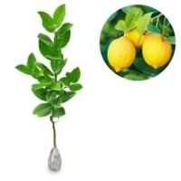 Jual Bibit jeruk lemon tea Murah