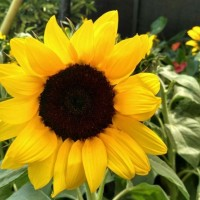 Jual Tanaman Bunga Matahari Mini Murah