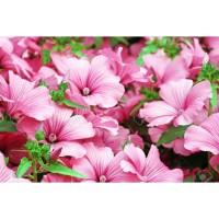 Biji Benih Bunga Lavatera Ruby Regis (Bunga Berkilauan Terang) Tahan