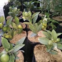 Jual tanaman LEMON TEA KONDISI BERBUAH berkualitas Murah