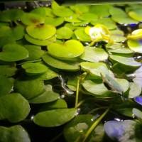 Jual Limnobium / frogbit / mini apuapu apu apu / Tanaman cupang udang hias Murah