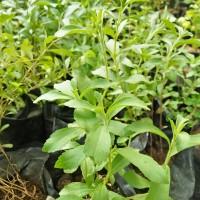 Jual bibit pohon stevia/gula stevia Murah