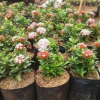 Tanaman bunga asoka jabon/pohon hias asoka jabon