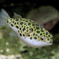 Ikan Hias Aquascape Ikan Buntal Buntel / Ikan Hias Aquarium Lucu