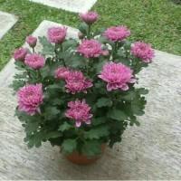 bibit tanaman bunga krisan ungu