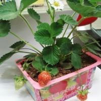 Jual TERMURAH Kebun tanaman mini buah sayur Mama Garden Creative Product F Murah