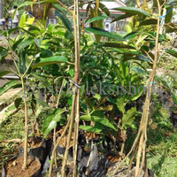 SPECIAL bibit durian bawor kaki 4 super unggul  PALING MURAH
