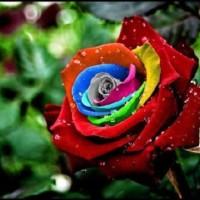 Jual Benih Mawar Mystic Rainbow Rose (Import) Murah