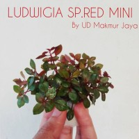 LUDWIGIA SP RED MINI