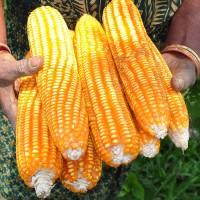 Bibit benih jagung super hibrida Bisi 18 1 kg