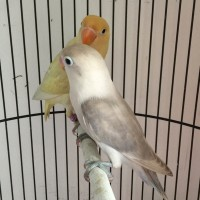 Burung Lovebird Sepasang Siapan Parblue Pastel dan Paswing