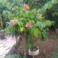 Suplier pohon melati belanda | 0815-1919-8697 solusi pertamanan