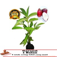 bibit tanaman jambu jamaika