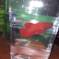 ikan cupang giant super red