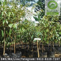 Bibit Tanaman Buah Durian D24/Agung/Sultan Up To 100 Cm Unggul