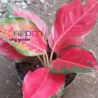 Aglaonema Super Red Cochin / Tanaman Hias Daun Mudah Perawatan Garansi